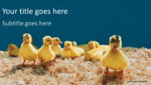 Baby Ducks Widescreen PPT PowerPoint Template Background